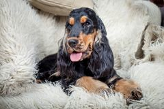 Purebred english cocker spaniel Stock Photography