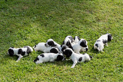 Purebred English Cocker Spaniel puppies Stock Image