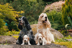 Purebred English Cocker Spaniel with puppy. English Cocker Spaniel caring female and male mother with two small puppies, 24 days old dogs outdoor on garden rock stock images