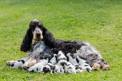 Purebred English Cocker Spaniel with puppy stock photos