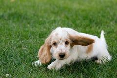 Purebred English Cocker Spaniel puppy Royalty Free Stock Photography
