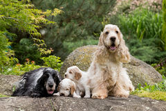 Purebred English Cocker Spaniel with puppy Stock Image