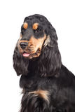 Purebred english cocker spaniel on white Royalty Free Stock Images