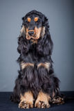 Purebred english cocker in a studio Royalty Free Stock Image