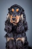 Purebred english cocker in a studio Stock Images