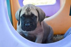 A purebred English Mastiff puppy sitting outside by playground equipment Stock Photography