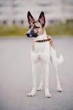purebred för hund inte royaltyfri fotografi