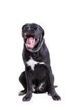 purebred för rottingcorsohund fotografering för bildbyråer