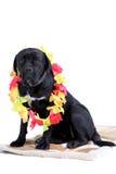 purebred för rottingcorsohund royaltyfri fotografi