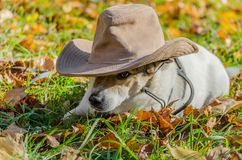 Purebred fat dog lying on the yellow autumn leaves fallen, raising his front paw up. Mongrel purebred fat dog lying on the yellow autumn leaves fallen, raising stock photos