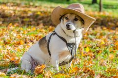 Purebred fat dog lying on the yellow autumn leaves fallen, raising his front paw up. Mongrel purebred fat dog lying on the yellow autumn leaves fallen, raising royalty free stock images