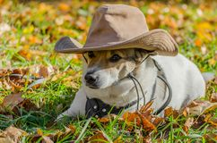 Purebred fat dog lying on the yellow autumn leaves fallen, raisi. Mongrel purebred fat dog lying on the yellow autumn leaves fallen, raising his front paw up royalty free stock image