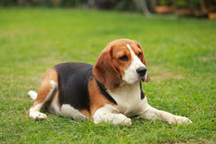 Purebred female Beagle dog lying down on lawn Stock Photo