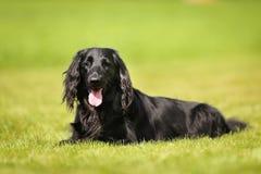 Purebred flat-coated retriever dog Royalty Free Stock Image