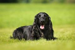 Purebred flat-coated retriever dog Royalty Free Stock Photography