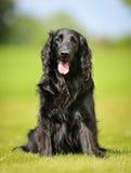 Purebred flat-coated retriever dog Stock Photo