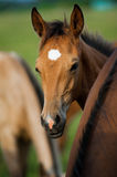 Purebred foal portrait Stock Photo