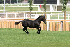 Purebred foal running across the showground Royalty Free Stock Image