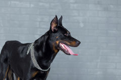 Purebred french shepherd dog, side view Royalty Free Stock Photo