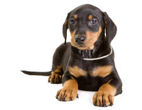 Purebred German Pinscher puppy. Cute purebred black-and-tan German Pinscher puppy, eight weeks old, looking straight at the camera Stock Photo
