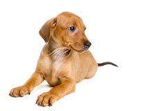 Purebred German Pinscher puppy. Cute purebred red German Pinscher puppy, eight weeks old, sitting on white backdrop, looking to the right Royalty Free Stock Photography