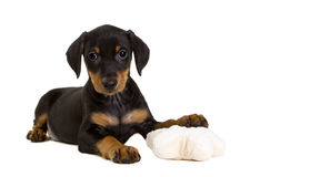 Purebred German Pinscher puppy with toy. Cute purebred black-and-tan German Pinscher puppy, eight weeks old, resting his left front paw on a toy, looking Royalty Free Stock Photo