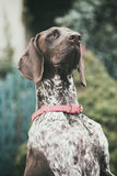 Purebred German pointer posing outdoor Stock Images