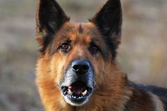 Purebred german shepherd Stock Photography