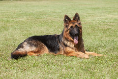 Purebred  German Shepherd Dog on a green background Royalty Free Stock Image