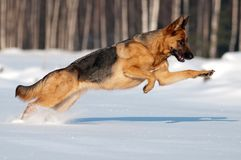 Purebred german shepherd jumps and runs in the sno Royalty Free Stock Images