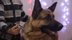 Purebred German Shepherd performing at canine show, search and rescue dog breed stock video