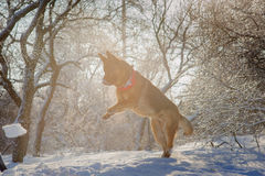 Purebred German Shepherd playing in the snow. Purebred German Shepherd playing in the snow in winter forest illuminated by the setting sun backlighting Stock Images