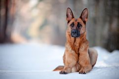 Purebred german shepherd posing Stock Photos