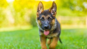 Purebred German Shepherd puppy in green grass. German Shepherd puppy playing outdoors in grass over blurred background royalty free stock photos