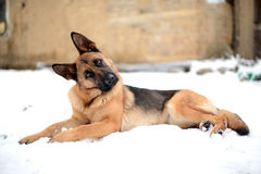 Purebred german shepherd. In winter time stock image