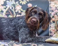 Purebred German wire-haired pointer Stock Photos