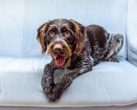 Purebred German wire-haired pointer Royalty Free Stock Photos
