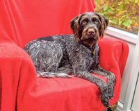 Purebred German wire-haired pointer Royalty Free Stock Image
