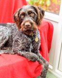 Purebred German wire-haired pointer Stock Image