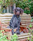 Purebred German wire-haired pointer Royalty Free Stock Photo