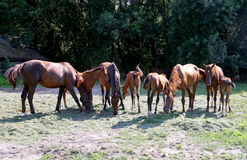 Purebred gidran horses eating fresh mown grass on a rural horse ranch. Thoroughbred gidran foals and mares grazing peaceful together on horse ranch summertime Royalty Free Stock Photo