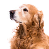 Purebred golden retriever dog Royalty Free Stock Images