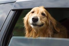 Purebred golden retriever dog stock image