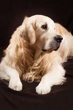 Purebred golden retriever dog on brown background Royalty Free Stock Photo