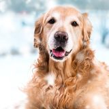 Purebred golden retriever dog Royalty Free Stock Photo