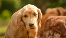 Purebred golden retriever dog looks lazy in park royalty free stock image