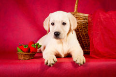 Purebred golden retriever dog on red background Royalty Free Stock Photo