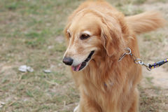 Purebred golden retriever dog Royalty Free Stock Image