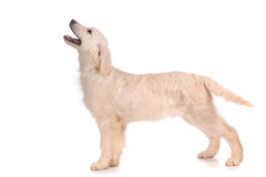 Purebred golden retriever pies Obrazy Stock