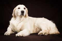 Purebred golden retriever pies na brown tle Obrazy Royalty Free